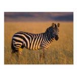 Plains Zebra Equus quagga) in grass, Masai Postcard