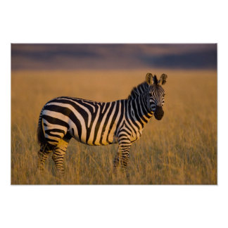 Plains Zebra Equus quagga) in grass, Masai Poster