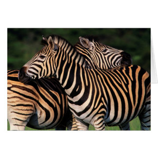 Plains Zebra (Equus Quagga) Pair Bonding, Tala Card