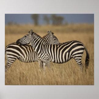 Plains Zebra (Equus quagga) pair grooming, Masai Poster