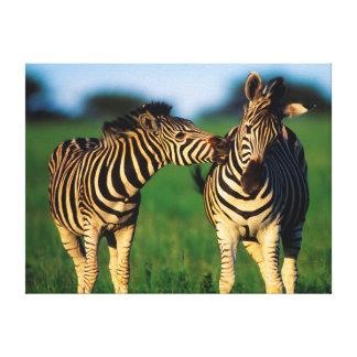 Plains Zebra (Equus Quagga) Pair Grooming, Tala Canvas Print