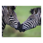 Plains zebra (Equus quagga) pair interacting Poster