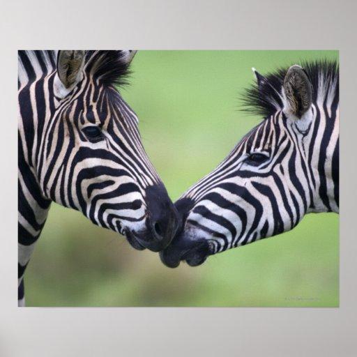 Plains zebra (Equus quagga) pair interacting Print
