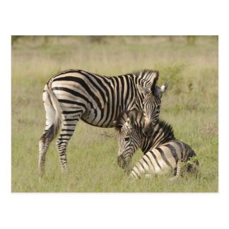 Plains Zebra (Equus quagga) pair resting on Postcard