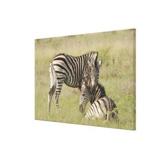 Plains Zebra (Equus quagga) pair resting on Stretched Canvas Prints
