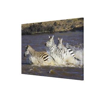 Plains Zebra (Equus quagga) running in water, Gallery Wrap Canvas