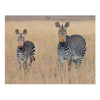 Plains zebra (Equus quagga) with foal Postcard
