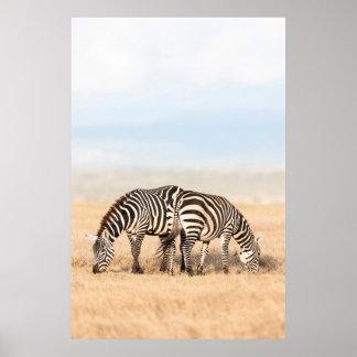Plains Zebra Or Common Zebra (Equus Quagga) 2 Poster