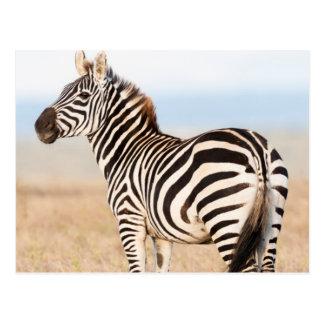 Plains Zebra Or Common Zebra (Equus Quagga) 3 Postcard