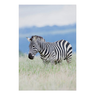 Plains Zebra Or Common Zebra (Equus Quagga) Poster