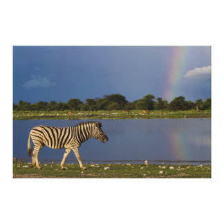 Plains Zebra Walking in Front of a Rainbow Canvas Prints