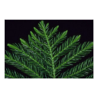 Plant Norfolk Pine Poster