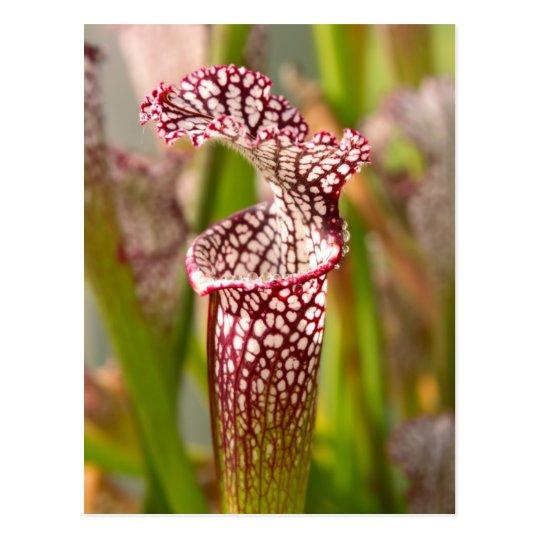 Plant - Pretty as a pitcher plant Postcard