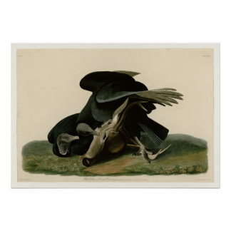Plate 106: Black Vulture or Carrion Crow Poster