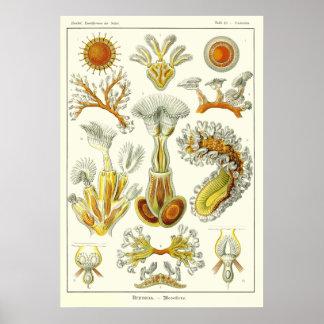 Plate 23 Bryozoa Poster