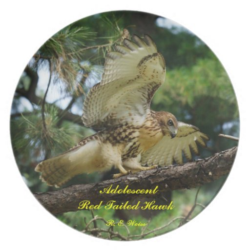 Plate red tailed hawk/ adolescent