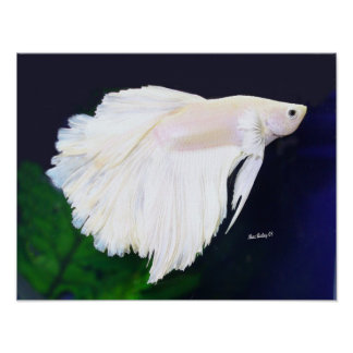 Platinum Betta fish poster