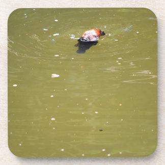 PLATYPUS DIVING IN WATER EUNGELLA AUSTRALIA COASTER