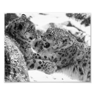 Play-Fighting Snow Leopard Brothers Photo Print