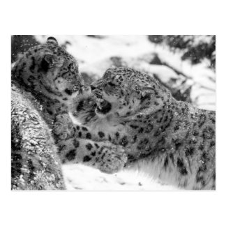 Play-Fighting Snow Leopard Brothers Postcard