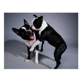 Playful Boston Terriers Postcard
