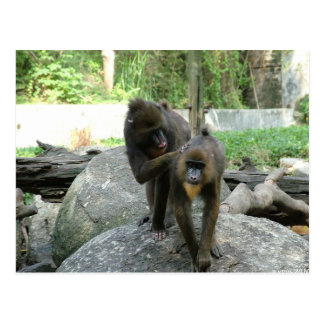 Playful cute smart and friendly baboons postcard