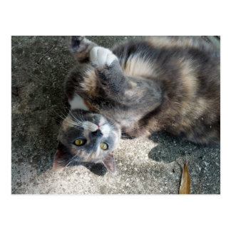 Playful Dilute Tortoiseshell Cat Post Cards