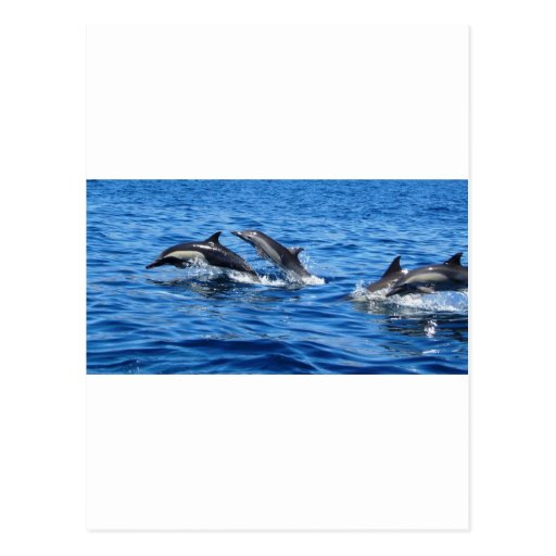 Playful Dolphins Post Cards