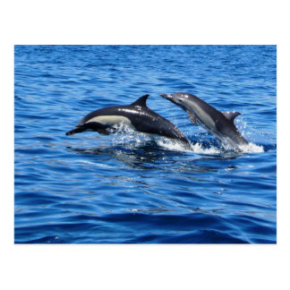 Playful Dolphins Postcard