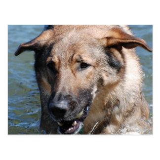 Playful German Shepherd  Postcard