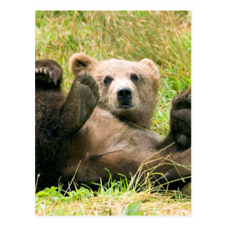 Playful Grizzly Bear Post Cards
