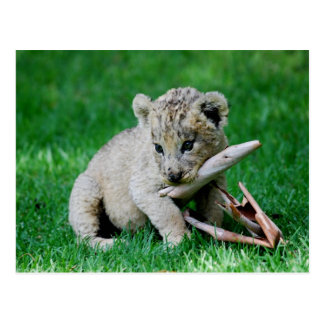 Playful lion postcards