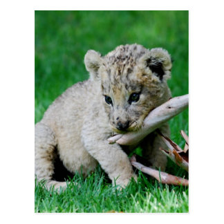 Playful lion postcard