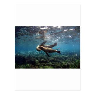 Playful sea lions Galapagos Islands Post Cards