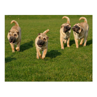 Playful Shar Pei Puppies Postcard