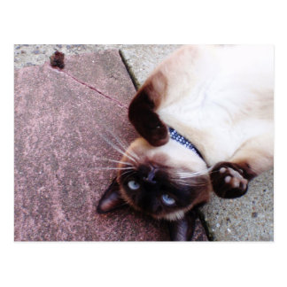 Playful Siamese Post Card