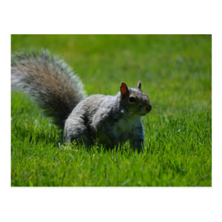 Playful Squirrel Postcard