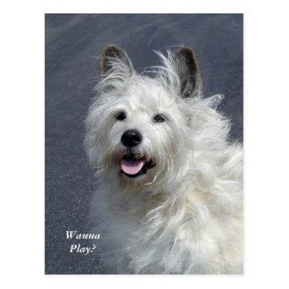 Playful West Highland Terrier Post Card