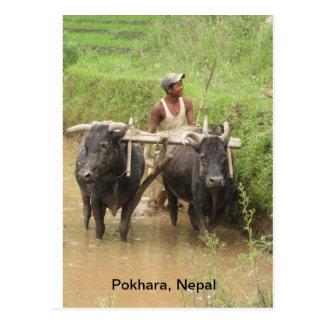 Plowing in Pokhara Postcard