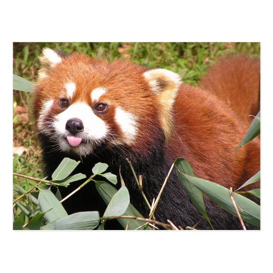 Plucky Red Panda Eats Bamboo, Makes Funny Face Postcard