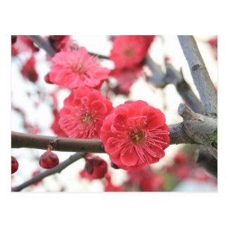 plum blossom spring pink flowers postcard
