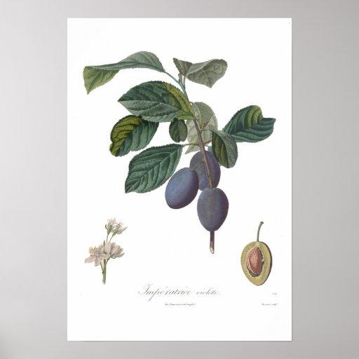 Plum,Imperatrice violette Print