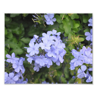 Plumbago of Kauai Photo Print