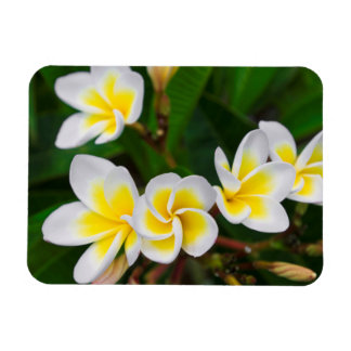 Plumeria flowers close-up, Hawaii Rectangular Photo Magnet