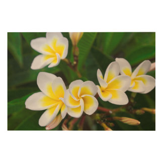 Plumeria flowers close-up, Hawaii Wood Wall Art