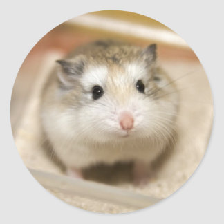 PMT the baby hamster: Stare Classic Round Sticker