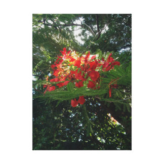 Poinciana Tree Blossoms Gallery Wrap Canvas
