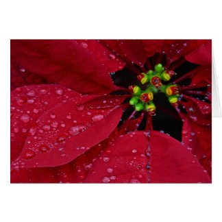 Poinsettias Card