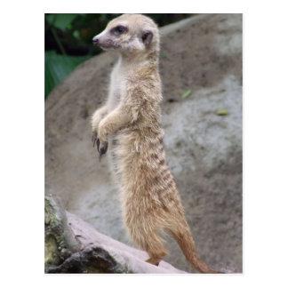 Poised Meerkat Postcard