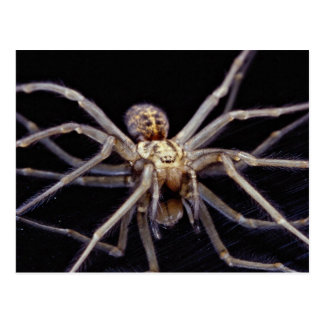 Poisonous menacing recluse spider post card